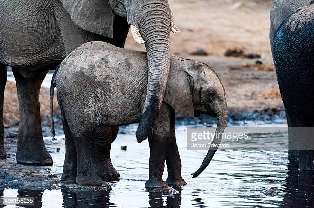 A mother African Elephants trunk caresses her calf at a waterhole.