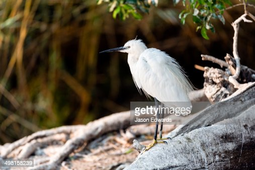 A Little Egret rests in the shade of a tree from the heat of the day.