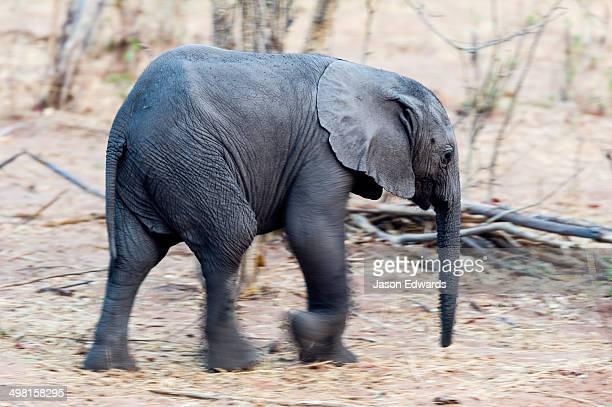 An African Elephant calf running through the dusty dry season veld.