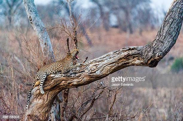 A Leopard yawning on a dead tree stag as the heat of the day wanes.
