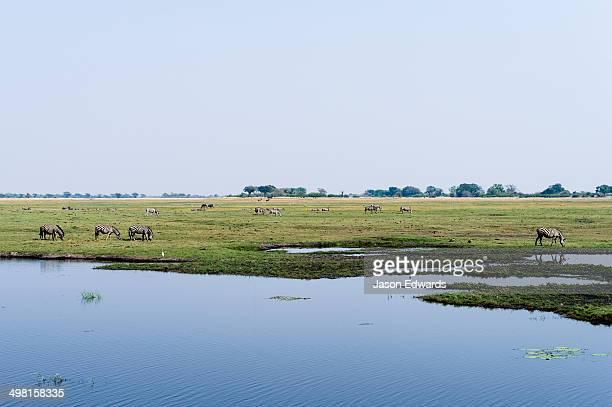 Zebras grazing next to a dwindling waterhole on a vast floodplain.