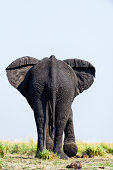African Elephants stay cool by flapping their ears exposing the veins.