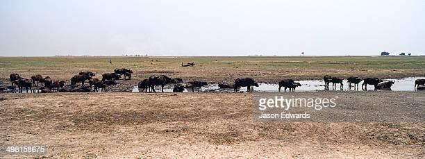 A herd of African Buffalo drink from a dwindling waterhole on a dry season floodplain.