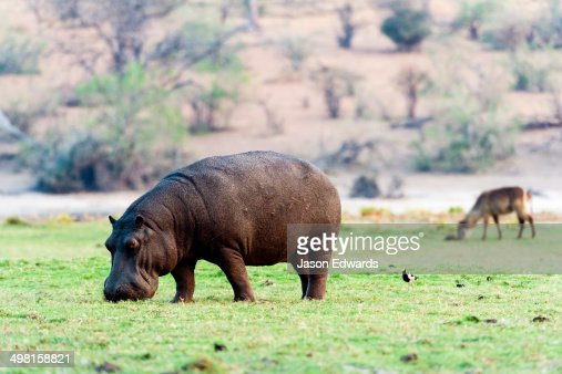 A Nile Hippopotamus grazing on shorts grasses on a wetland island at sunset.
