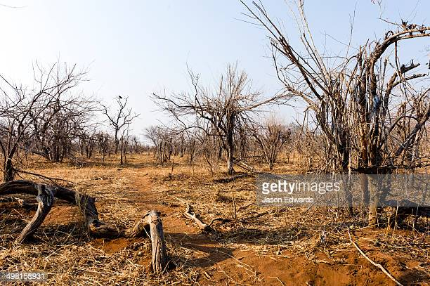 A stand of Combretum Mocambiquensis during the dry season after being fed on by elephants.