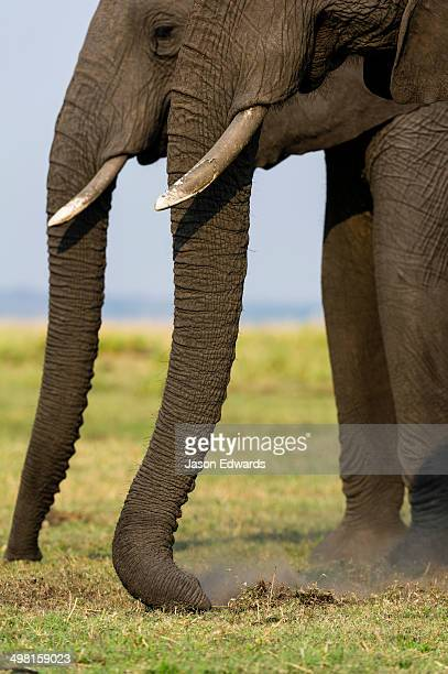 A pair of African Elephants grazing on short grasses on a wetland island.