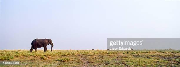 An African Elephant grazing on grasses on a dry season wetland island.
