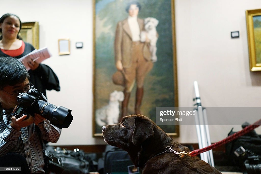 A choclate Lab is photographed by the media following a news conference by the American Kennel Club to discuss the release of the club's annual list of the most popular dog breeds in the U.S., on January 30, 2013 in New York City. The club says that for the 22nd straight year the Labrador Retriever is the nation's most popular dog followed by the the German Shepherd.