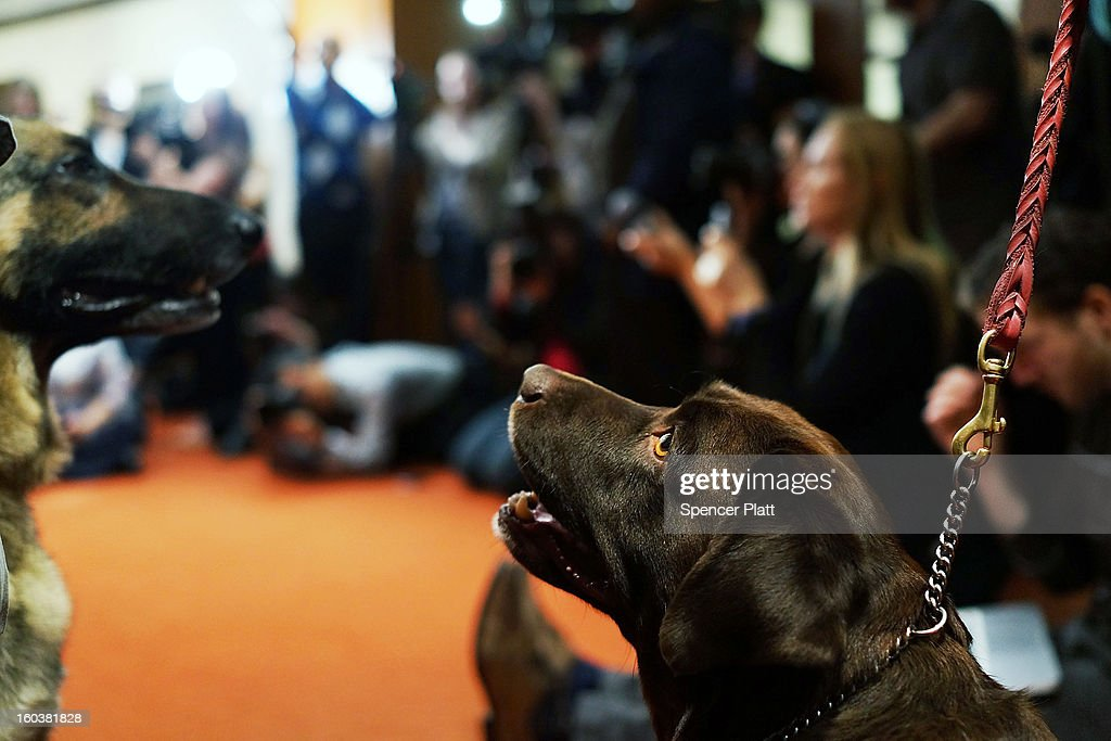 A choclate Lab pauses during a news conference by the American Kennel Club to discuss the release of the club's annual list of the most popular dog breeds in the U.S., on January 30, 2013 in New York City. The club says that for the 22nd straight year the Labrador Retriever is the nation's most popular dog followed by the the German Shepherd.