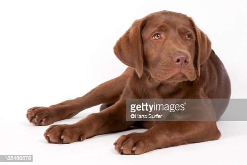 Choclate Labrador puppy [14 weeks] : Stock Photo
