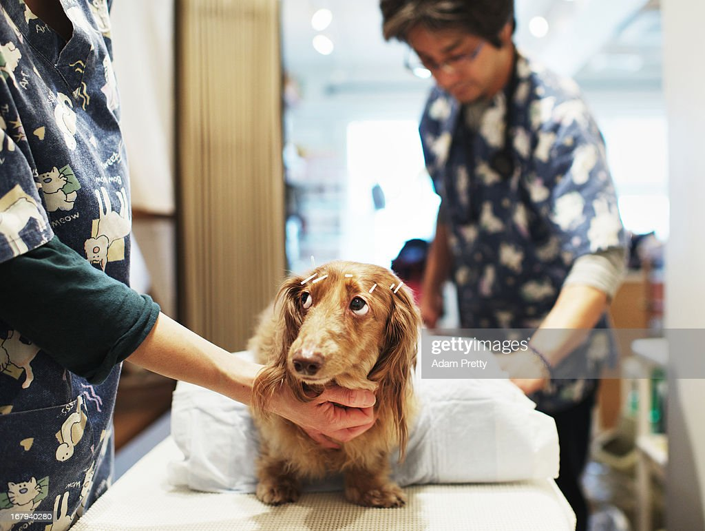 Chocolate, a miniature dachshund receives acupuncture therapy from veterinarian Satoshi Okada to help with lumbar disk herniation, at the Marina Street Okada animal hospital on April 12, 2013 in Tokyo Japan. The number of pet dogs in Japan has been increasing steadily to 11.5 million animals, almost one-fifth households. One-tenth of Japanese families have at least one dog, according to the survey of Japan Pet Food Association.