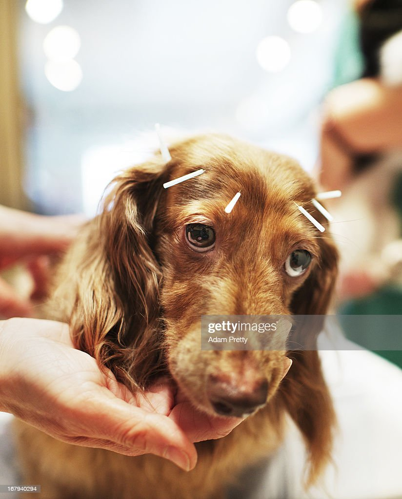 Chocolate, a miniature dachshund receives acupuncture therapy to help with lumbar disk herniation, at the Marina Street Okada animal hospital on April 12, 2013 in Tokyo Japan. The number of pet dogs in Japan has been increasing steadily to 11.5 million animals, almost one-fifth households. One-tenth of Japanese families have at least one dog, according to the survey of Japan Pet Food Association.