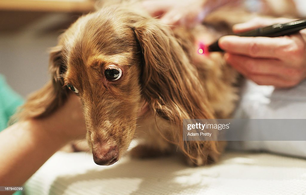 Chocolate, a miniature dachshund receives laser acupuncture therapy to help with lumbar disk herniation, at the Marina Street Okada animal hospital on April 12, 2013 in Tokyo Japan. The number of pet dogs in Japan has been increasing steadily to 11.5 million animals, almost one-fifth households. One-tenth of Japanese families have at least one dog, according to the survey of Japan Pet Food Association.