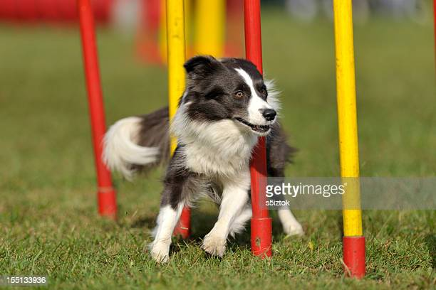 Schokolade Border-Collie