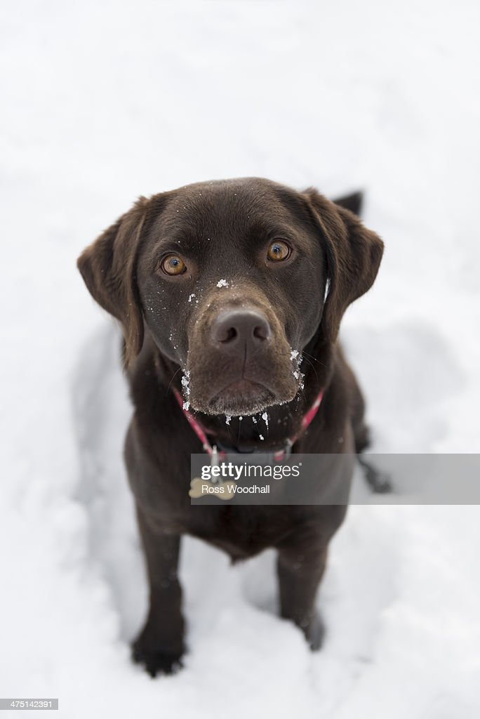 Chocolate brown labrador retriever : Stock Photo
