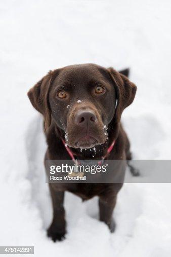 Chocolate brown labrador retriever : Stock Photo