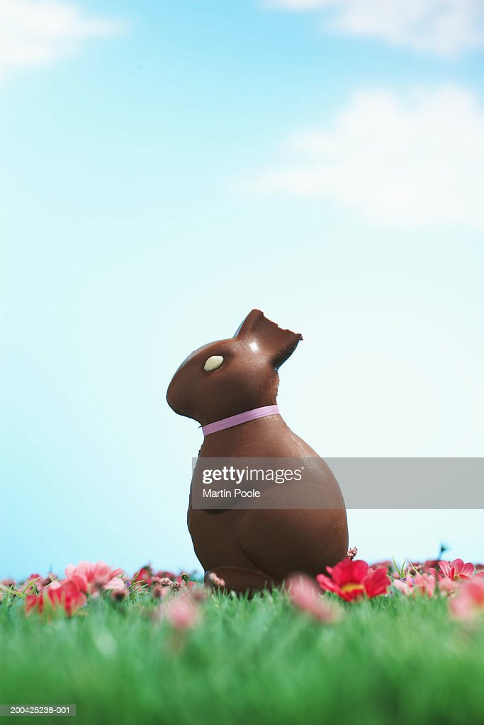 Chocolate Easter bunny with half of ear bitten off sitting on grass : Stock Photo