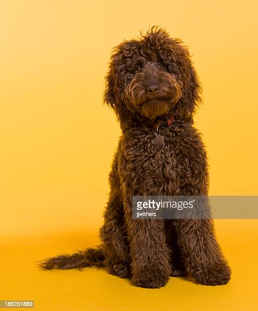 Chocolate Labradoodle photographed against yellow background