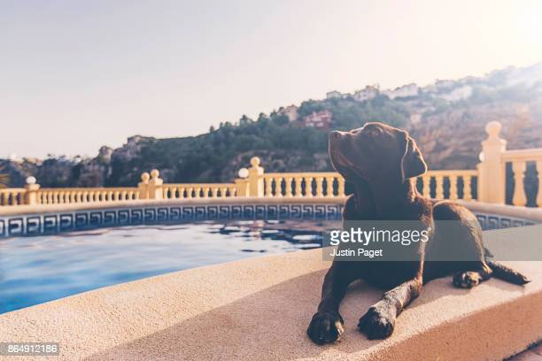 Chocolate Labrador by the Pool