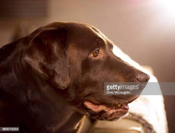 Chocolate Labrador, Male