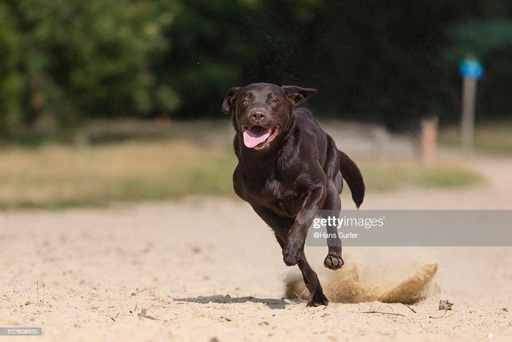 A Chocolate Labrador on one leg