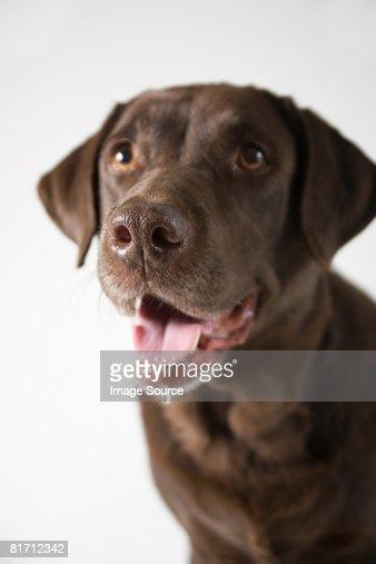 Chocolate labrador : Stock Photo