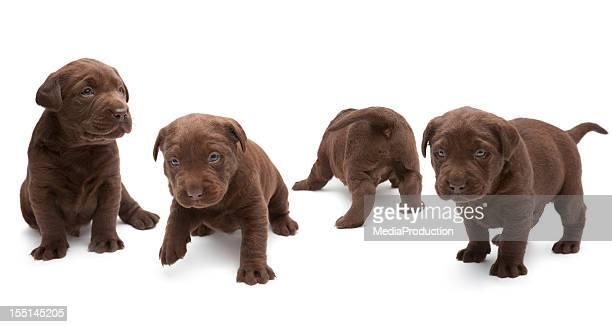 チョコレートラブラドール子犬