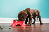 A low angle view of a cute adorable 7 week old Chocolate Labrador Retriever puppy eating from a red dog dish that is sitting on a dark hardwood floor with a white baseboard and teal colored wall in th