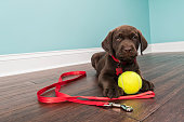 A cute young Chocolate Labrador puppy lying down on the hardwood floor with a white baseboard and green wall in the background, looking at the camera while wearing a red nylon collar with red bone sha