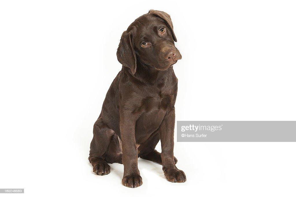 Chocolate Labrador Puppy!