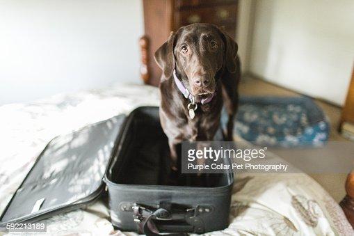 Chocolate Labrador Retriever Dog in Empty Suitcase