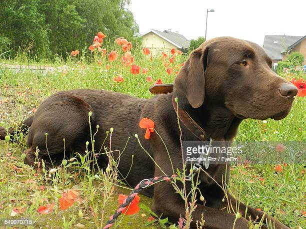 Chocolate Labrador Retriever On Poppy Field Against Sky