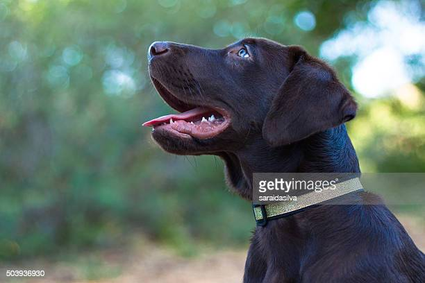 Chocolate Labrador Retriever