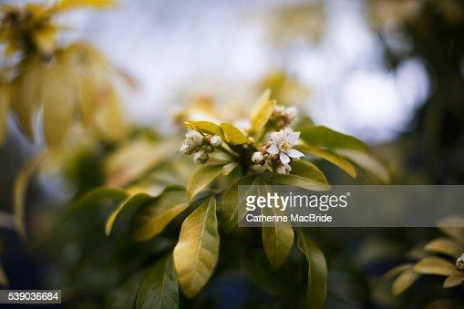 Choisya ternata in bloom : Stock Photo