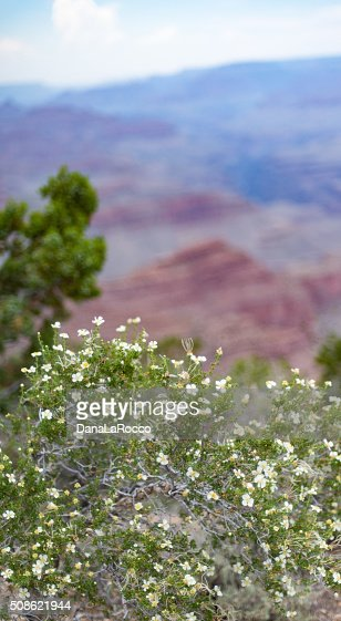 Chokecherry in the Desert : Stock Photo