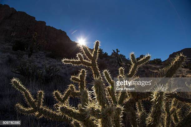 A cholla cactus is backlit by the setting sun in the Mojave Desert landscape which President Obama has just designated as a National Monument near...