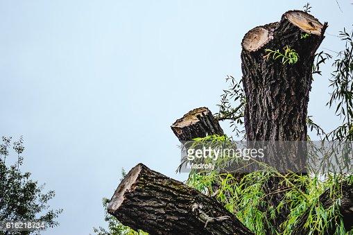 Chopped tree : Bildbanksbilder