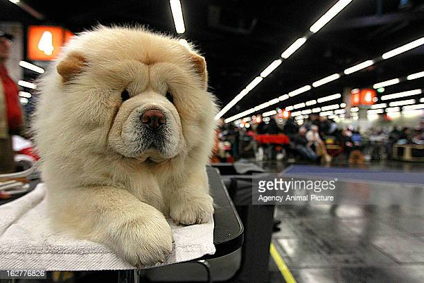 Chow Chow at the CACIB dog exhibition at the Exhibition Centre Nuernberg on January 14 2012 in Nuernberg Germany