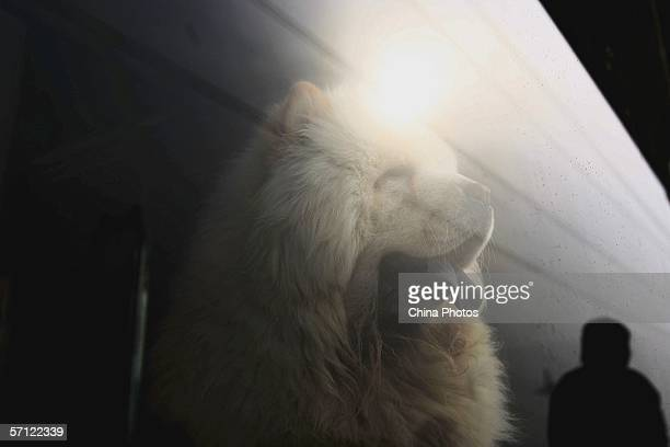 A Chow Chow dog worth over 100000 yuan looks out of a show window at a pet market on March 17 2006 in Beijing China According to state media with the...