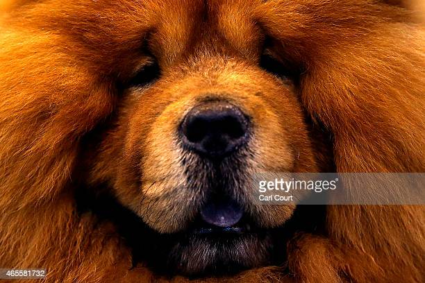 Chow Chow is seen on the fourth and final day of Crufts dog show at the National Exhibition Centre on March 8 2015 in Birmingham England First held...
