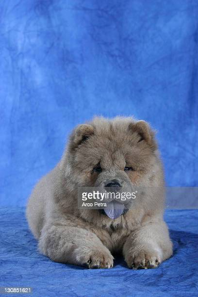Chow Chow, puppy, 11 weeks