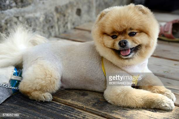 A Chow Chow sits on the banks of the Bassin de la Villette during the inauguration of the 15th edition of 'Paris plages' in Paris on July 20 2016 The...
