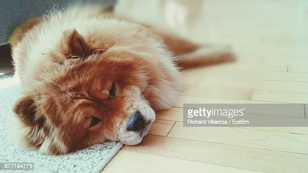 Chow Resting On Hardwood Floor At Home