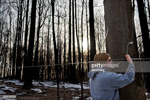 Chris Grossman checks the maple taps and lines in the woods at Grossman Brothers Maple Products in Claridon Ohio on Saturday March 9 2013 Grade A...