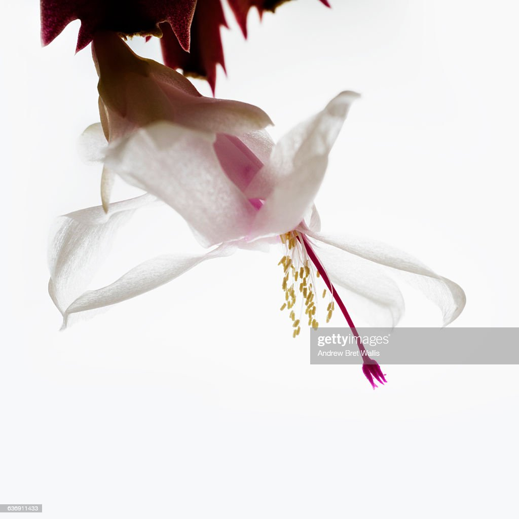 Christmas cactus flower in bloom against white