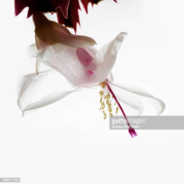 Christmas cactus flower in bloom against white