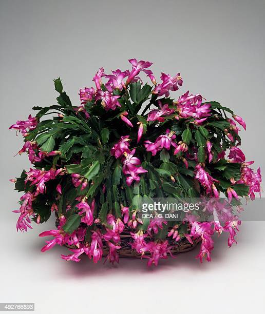 Christmas cactus or thanksgiving cactus Cactaceae