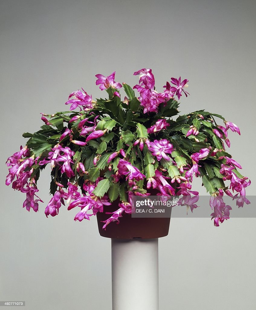 Christmas cactus or thanksgiving cactus Cactaceae