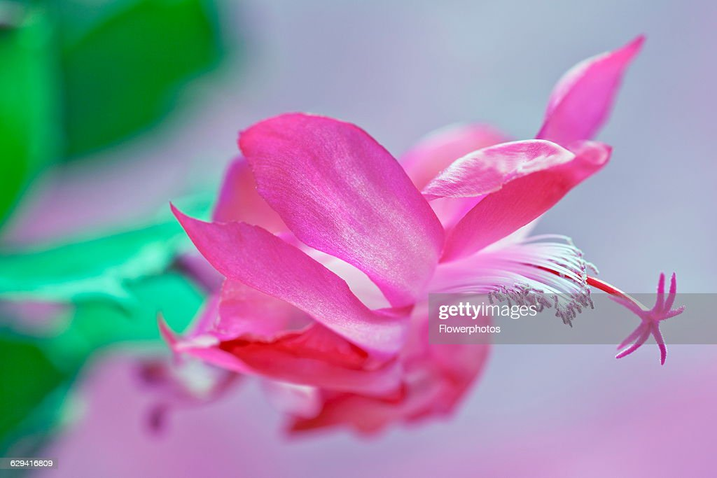 Christmas cactus Schlumbergera x bridgesii Close view of one bright pink flower with swept back petals white stamens and unusual star shaped pink...