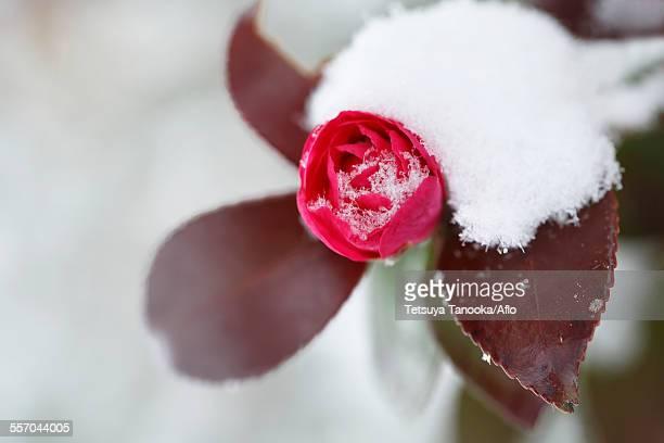 Christmas Camellia